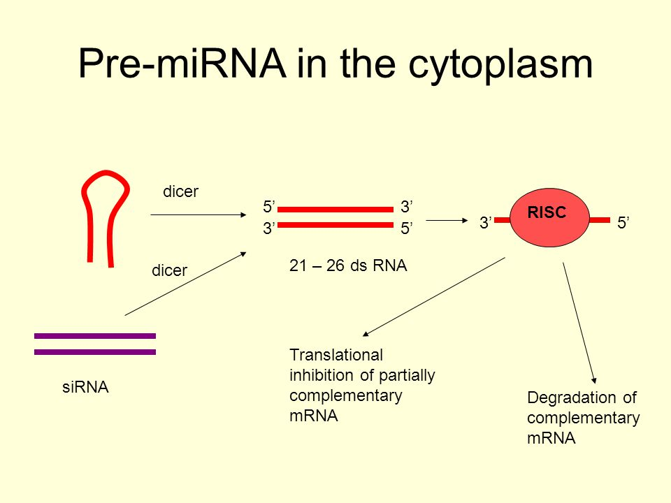 miRNA It cuts off the hairpin loop and the 65 75 nt pre-miRNAs are exported to the cytoplasm by exportin 5 It is further processed by another RNase III endonuclease system, Dicer.
