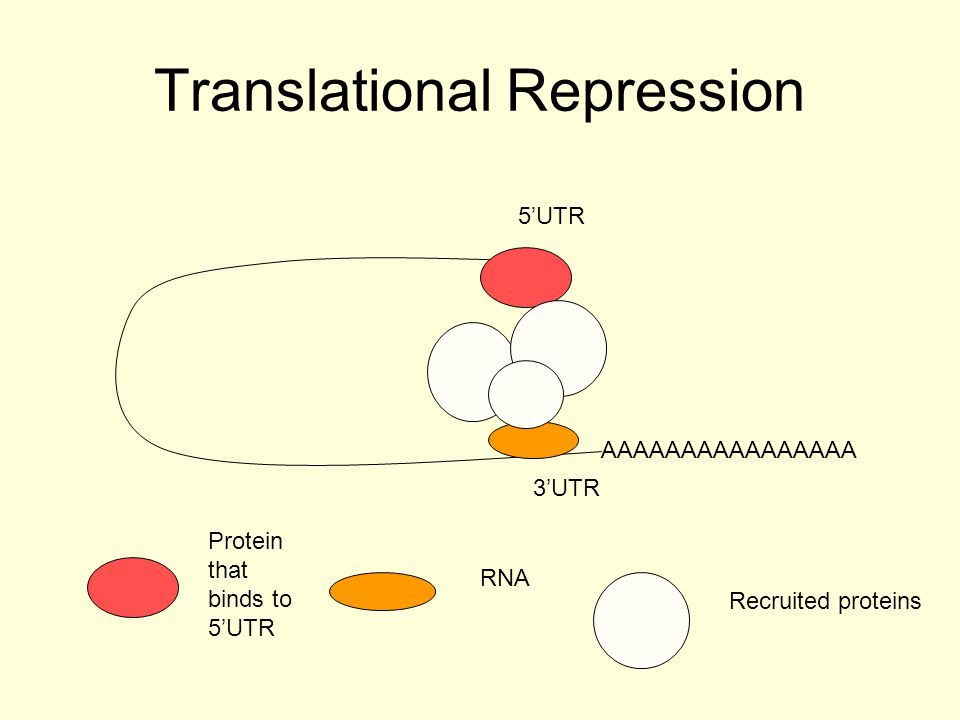 mRNA destruction: sequence specific targetting siRNA and miRNA AAAAAAAAAAAAAAAA 3'UTR 5'UTR RNA targets sequence for destruction