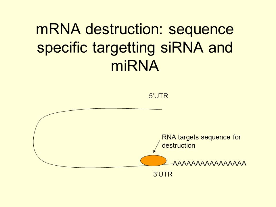 Pharmaceutical Applications Use of modified anti-miRNA oligonucleotides (AMOs) Complementary to miRNA Inhibit a particular miRNA activity Example is inhibition of miR-122 Cholesterol conjugated AMO injected intraperitoneally (X2 weekly)