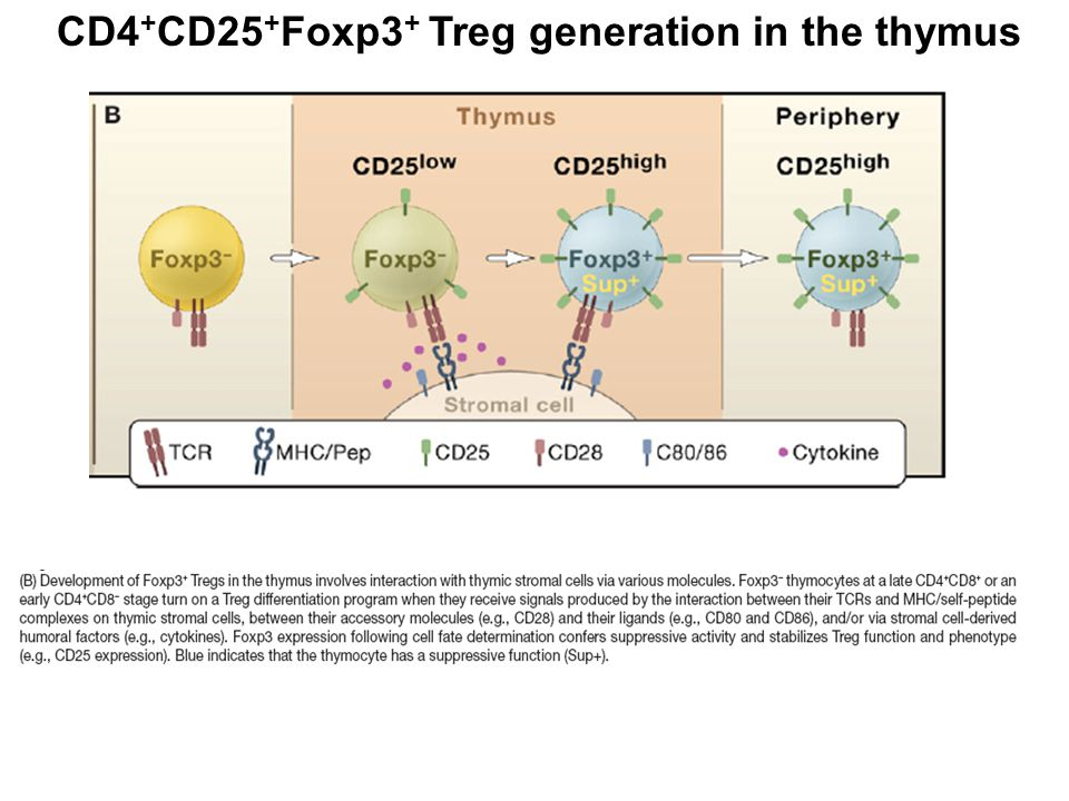 FoxP3 is induced in thymic precursor cells upon engagement with high-affinity TCR and other costimulatory factors resulting in FOXP3+ Treg cells.
