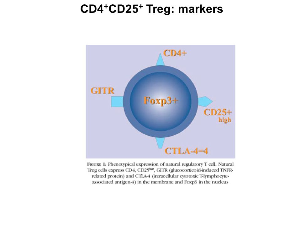 CD25 (IL-2 receptor  -chain)  transiently expressed in activated T cells; constitutively expressed in Tcells with regulatory abilitites  at the steady state, 10% of peripheral CD4 + cells express CD25