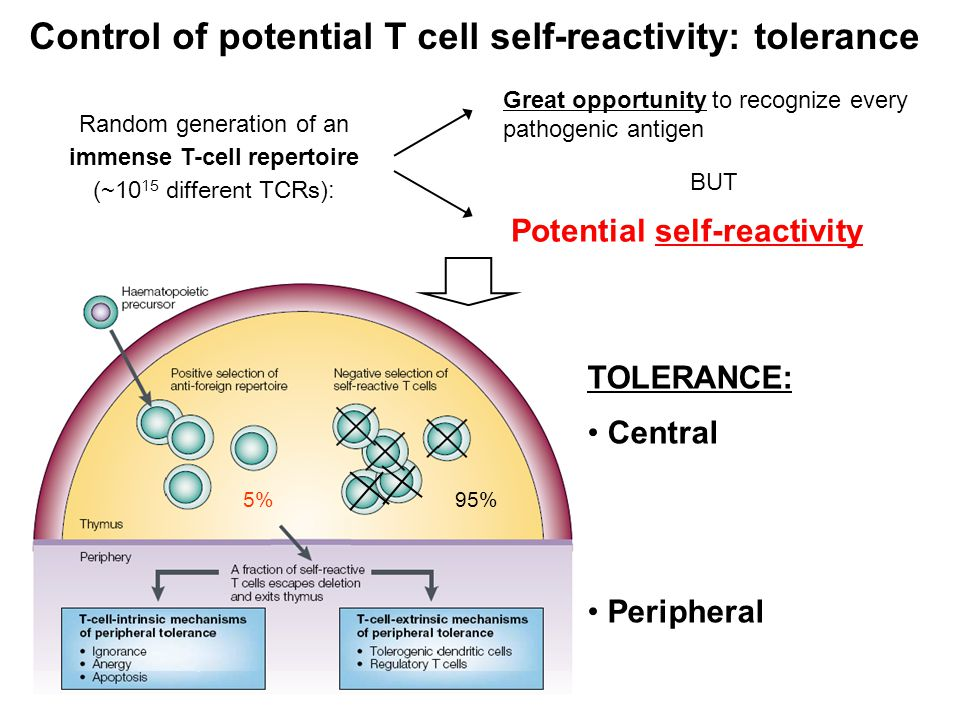 T-cell ESTRINSIC Regulatory T cells Tolerization mechanisms T-cell INTRINSIC Clonal deletion (apoptosis) Anergy Ignorance