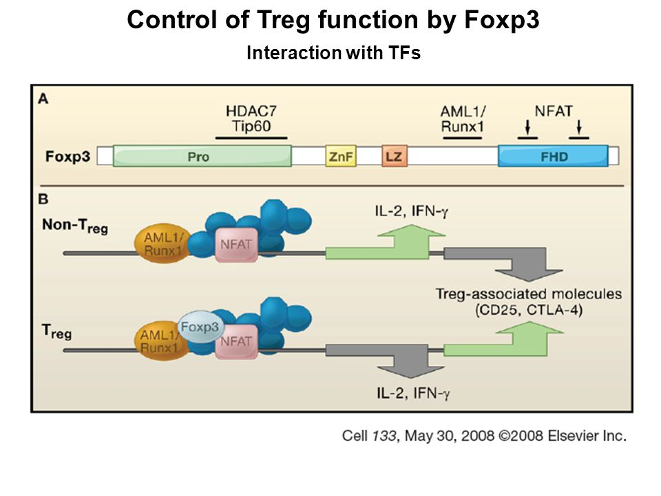 Control of Treg function by Foxp3 Target genes Foxp3 controls directly or indirectly nearly 700 genes Foxp3 binds directly to nearly 10% of them Among target genes: signal transduction genes transcription factors (!!!!!!!) cytokines (e.g.Il2) cell surace molecules enzymes for cell metabolism miRNA Foxp3 functions as an activator as well as a repressor of the transcription depending on the target