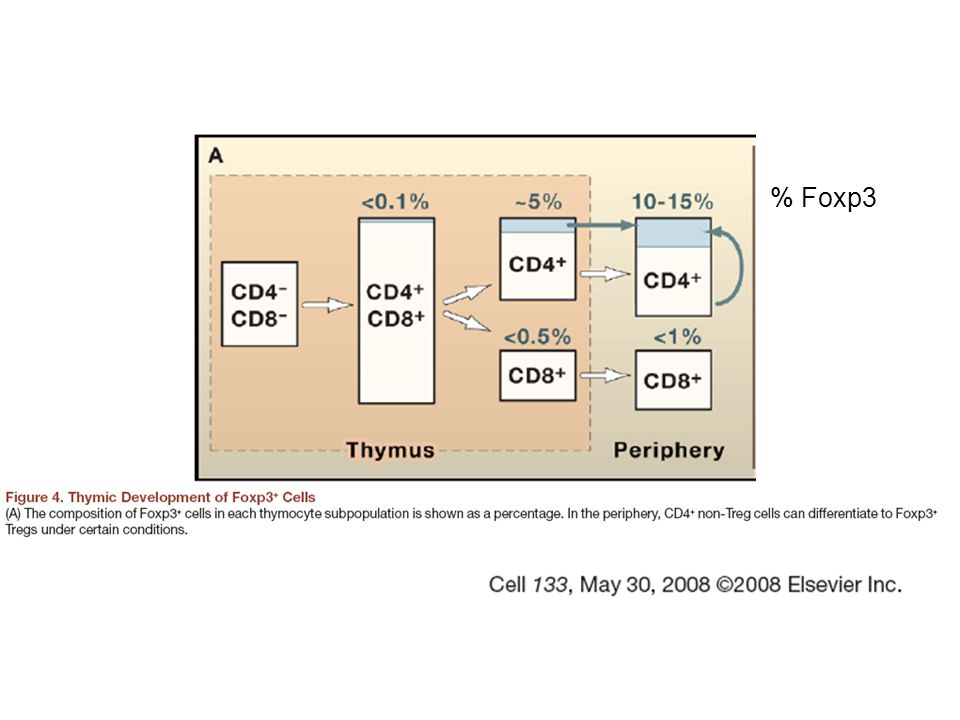 CD4 + CD25 + Tregs - constitute 10% of circulating CD4 + pool in normal mice - they are anergic - once activated, they do not produce IL-2 - they proliferate less than effector T cells in vitro after ag stimulation, but in vivo they are continuosly proliferating due to self-ag recognition - they consume IL-2 - they suppress effector function of other T cells - once activated in an ag-specific manner, their suppression is not limited to T cells with the same specificity