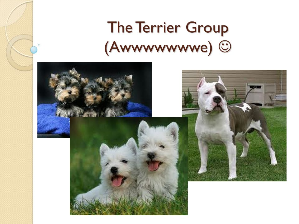 History The word terrier refers to the earth and comes from the Latin root terra.