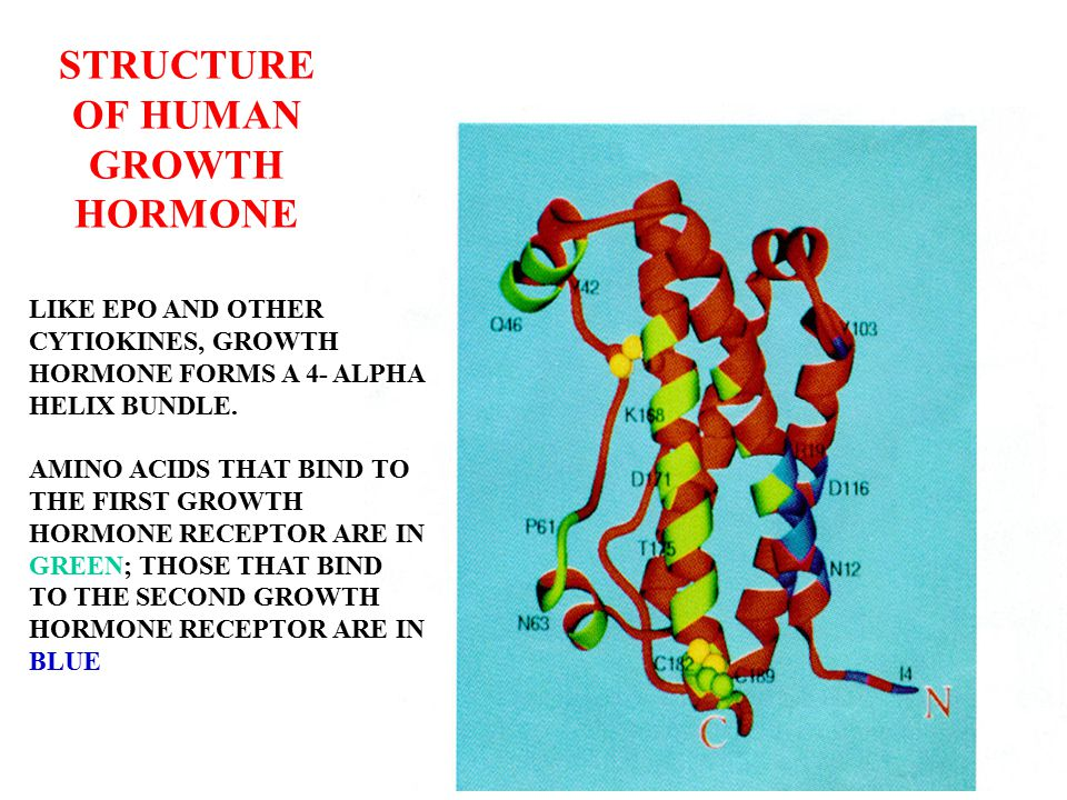 STRUCTURE OF THE EXTERNAL SEGMENT OF THE HUMAN GROWTH HORMONE RECEPTOR THE PLASMA MEMBRANE IS AT THE BOTTOM OF THE FIGURE AMINO ACIDS THAT BIND GROWTH HORMONE ARE IN BLUE AMINO ACIDS THAT BIND THE SECOND MOLECULE OF GROWTH HORMONE RECEPTOR ARE IN GREEN