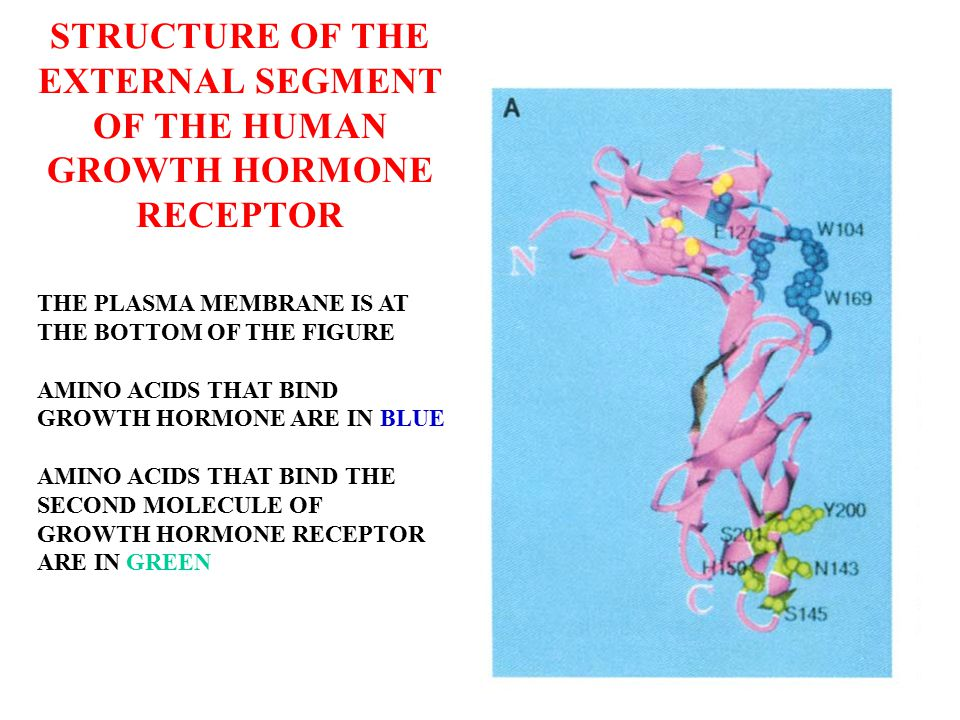 THREE- DIMENSIONAL STRUCTURE OF THE COMPLEX OF ONE MOLECULE OF HUMAN GROWTH HORMONE AND TWO GROWTH HORMONE RECEPTORS PLASMA MEMBRANE IS AT THE BOTTOM OF THE FIGURE