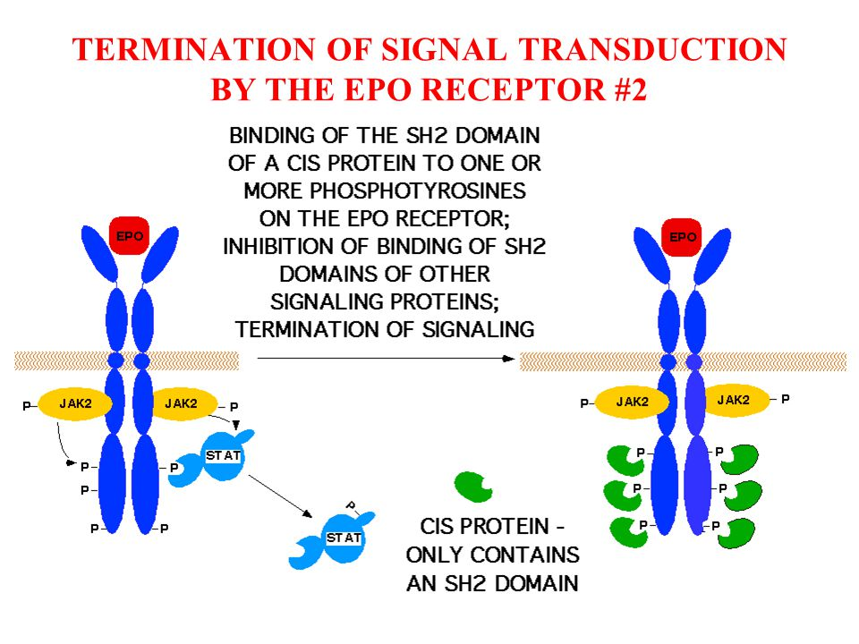 AS WITH THE EPO RECEPTOR, LIGAND BINDING INDUCES A CONFORMATIONAL CHANGE THAT PROMOTES OR STABILIZES RECEPTOR DIMERS.