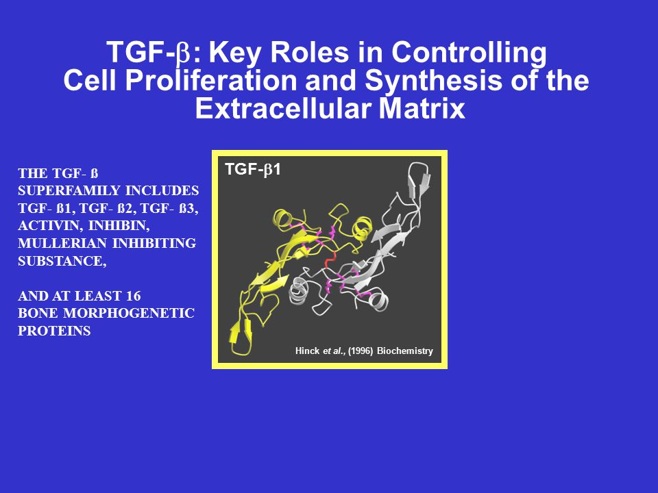 TGF-  : Key Roles in Controlling Cell Proliferation and Synthesis of the Extracellular Matrix BIOLOGICAL FUNCTIONS OF TGF-ß INCLUDE: INHIBITION OF CELL PROLIFERATION INDUCES INHIBITORS OF CYCLIN - DEPENDENT KINASES TYPE II RECEPTOR FREQUENTLY LOST OR MUTATED IN CANCERS INDUCTION OF SYNTHESIS OF EXTRACELLULAR MATRIX PROTEINS: FIBRONECTIN, COLLAGENS, PROTEOGLYCANS INHIBITION OF SYNTHESIS OF EXTRACELLULAR PROTEASES: COLLAGENASE, PLASMINOGEN ACTIVATOR INDUCTION OF SYNTHESIS OF INHIBITORS OF EXTRACELLULAR PROTEASES PROMOTION OF CELL MATRIX AND CELL- CELL ATTACHMENT