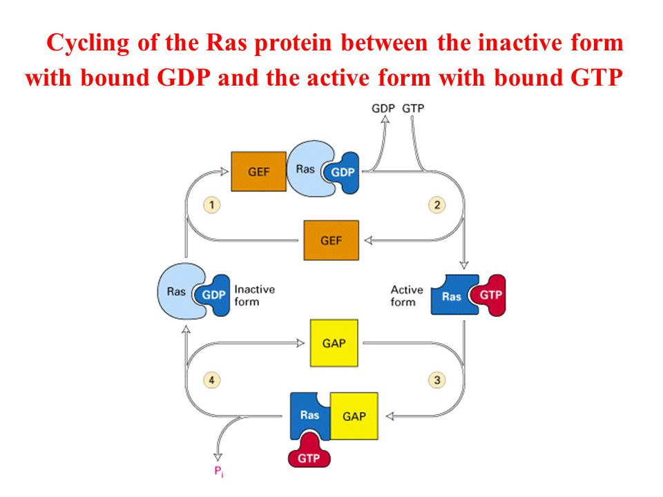 Activation of Ras following binding of a ligand to a RTK