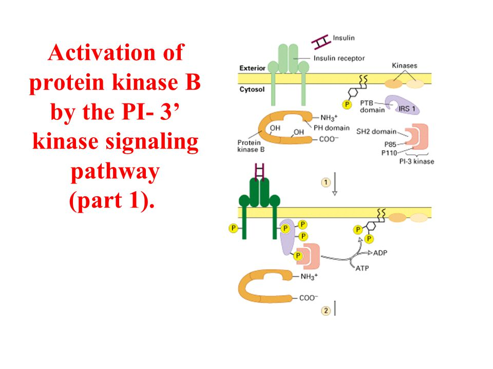 Activation of protein kinase B by the PI- 3' kinase signaling pathway (part 2).