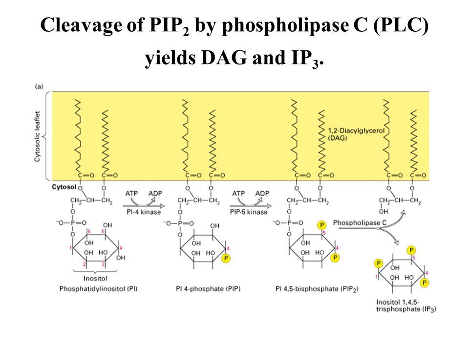 Elevation of cytosolic Ca 2  via the inositol-lipid signaling pathway