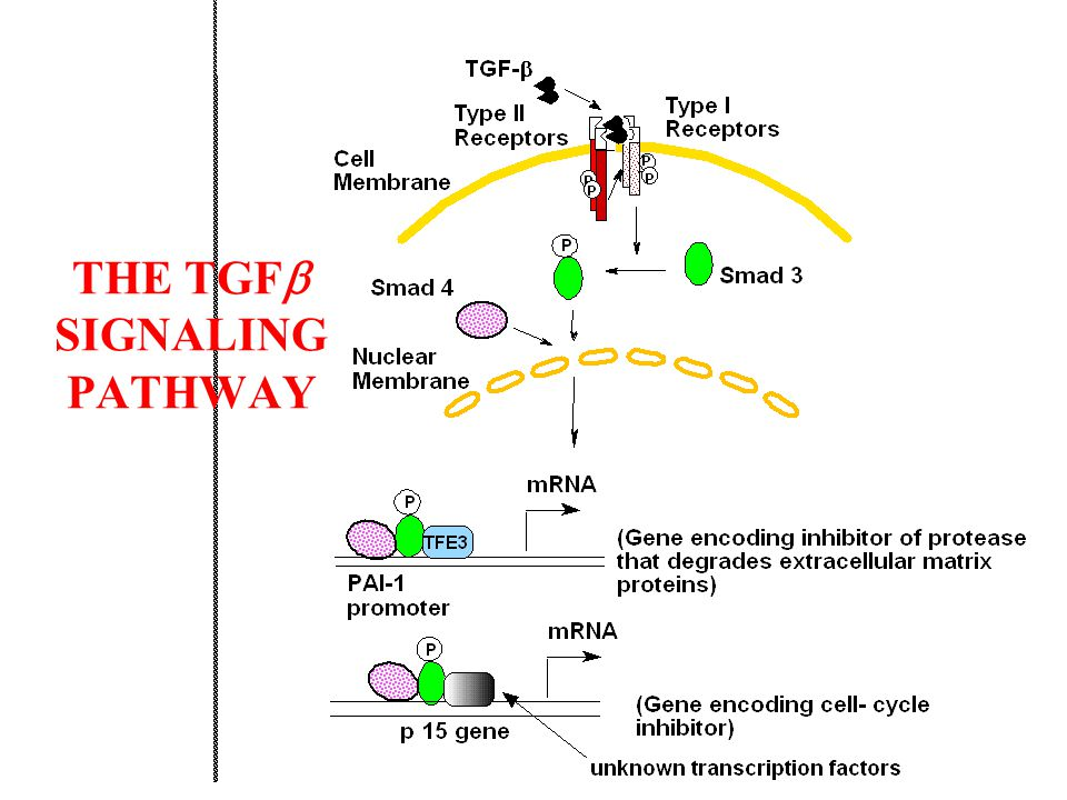 SMAD3 PROTEINS BIND ONLY TO 4 BASE PAIRS OF DNA: 5' AGAC 3' EACH TFE3 TRANSCRIPTION FACTOR BINDS TO A 3 BASE PAIR SEQUENCE 5' CAC 3' A DIMER OF TWO TFE3s BINDS TO A 6 BASE PAIR SEQUENCE 5' CACGTG 3' (GTG IS THE COMPLEMENT OF CAC) THUS A SEQUENCE 5' AGACxxxCACGTG 3' BINDS ONE SMAD3 PROTEIN AND ONE TFE3 DIMER IN A PRECISE ARRANGEMENT, ALLOWING FOR TRANSCRIPTION ACTIVATION, IN THIS CASE OF THE PAI-1 GENE.