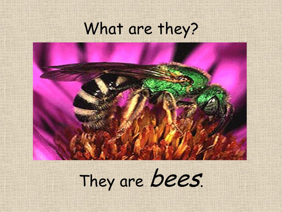 What are they? They are bees.