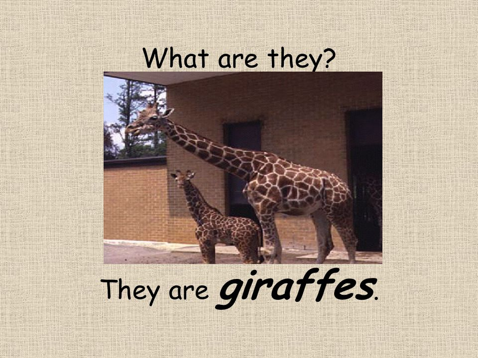 What are they? They are giraffes.