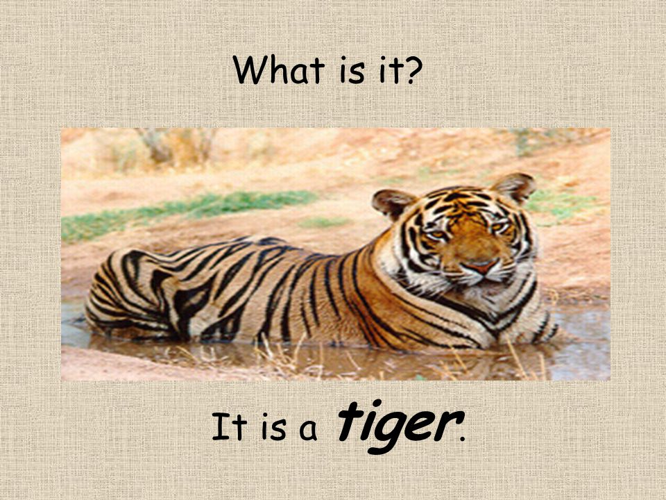What is it? It is a tiger.