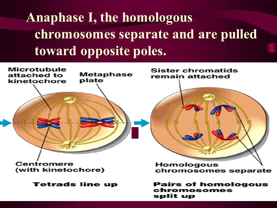 In telophase I, movement of homologous chromosomes continues until there is a haploid set at each pole.