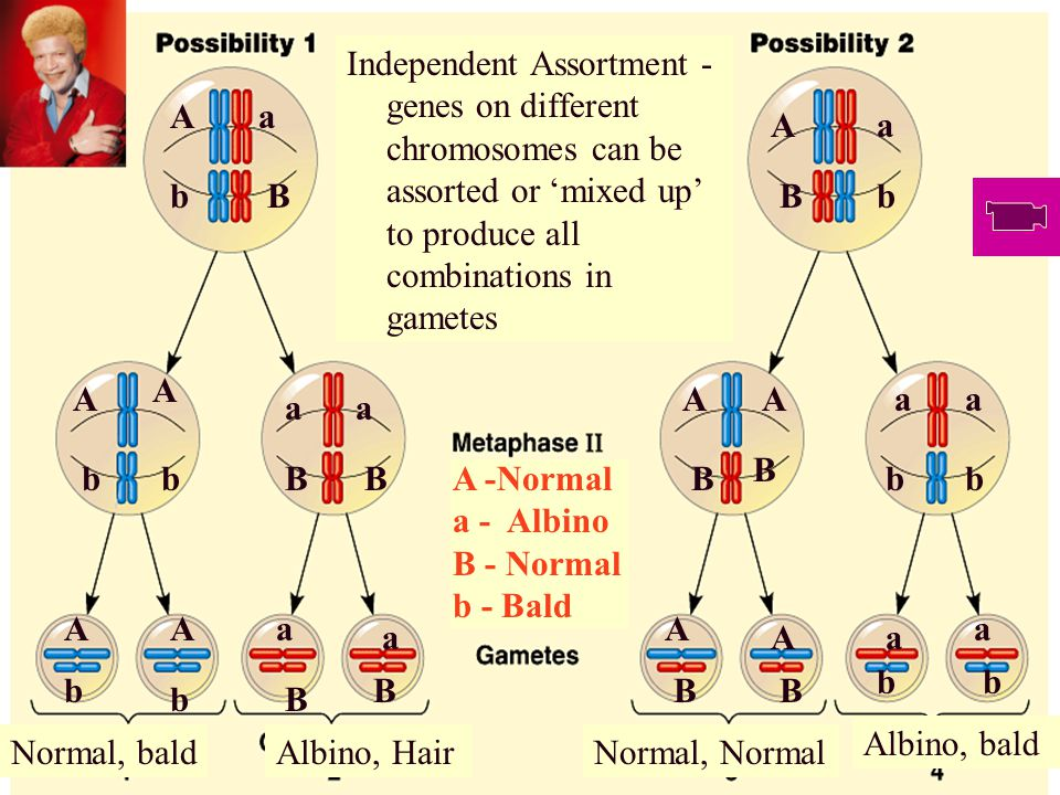 Independent Assortment Independent assortment - due to the random orientation of chromosomes at the metaphase plate.