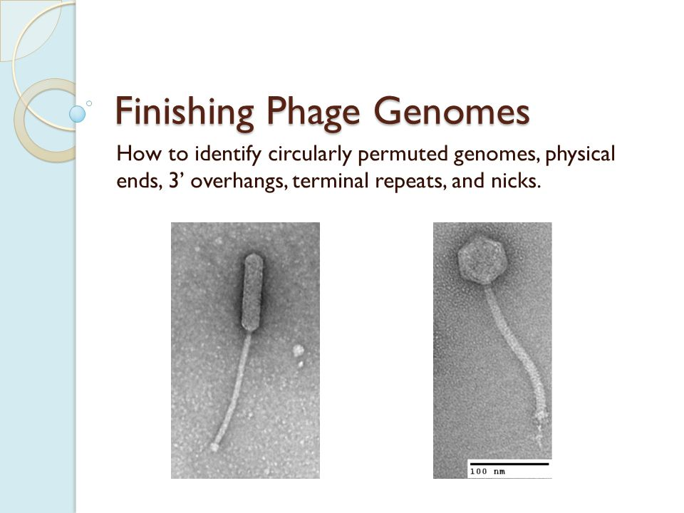 Circularly Permuted Genomes Some phages have circularly permuted genomes.