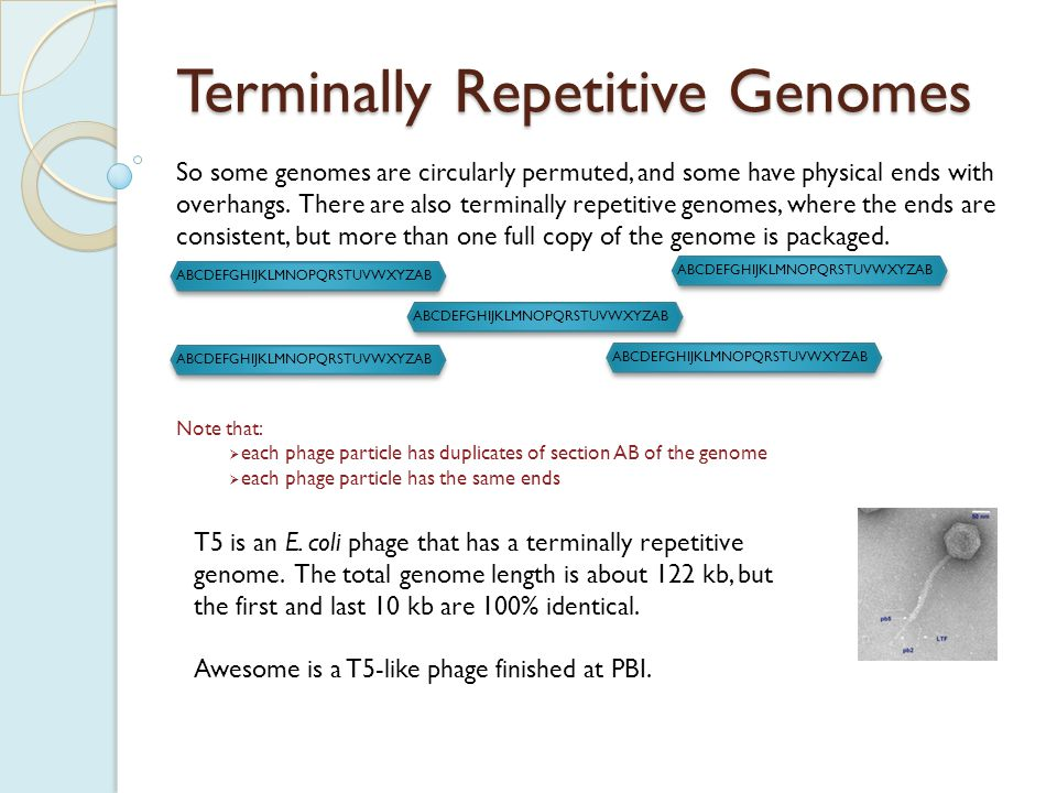 ABCDEFGHIJKLMNOPQRSTUVWXYZAB Terminally Repetitive Genomes The easiest way to identify a terminally repetitive genome is by a BLAST search that matches a known terminally repetitive genome.