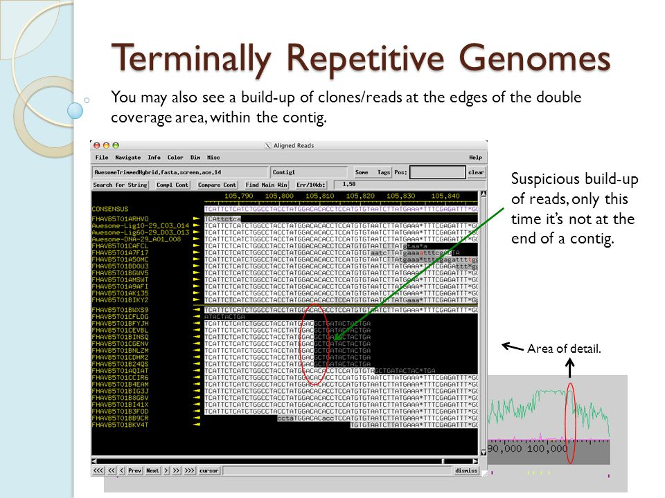 Terminally Repetitive Genomes To confirm that this is really a terminal repeat, and to find the precise base where the repeat begins and ends, primer walks are again necessary.