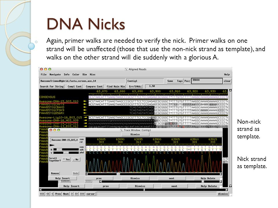 DNA Nicks If a nick is present in only 50% of DNA molecules, it will look almost identical to an end of a terminally repetitive genome.