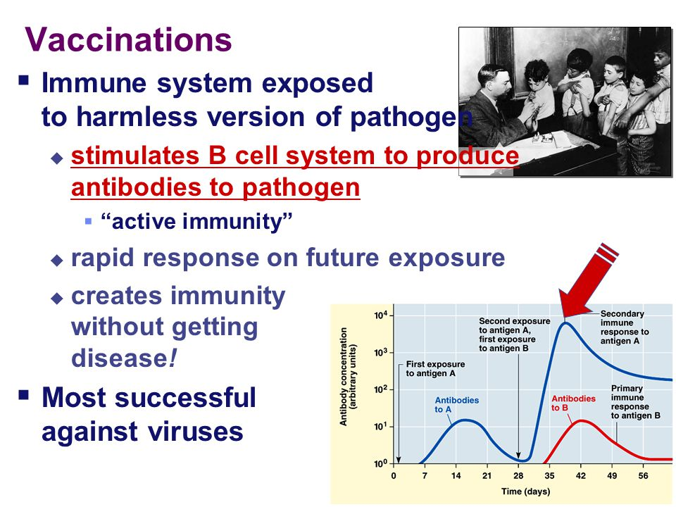 Vaccinations  Immune system exposed to harmless version of pathogen  stimulates B cell system to produce antibodies to pathogen  active immunity  rapid response on future exposure  creates immunity without getting disease.