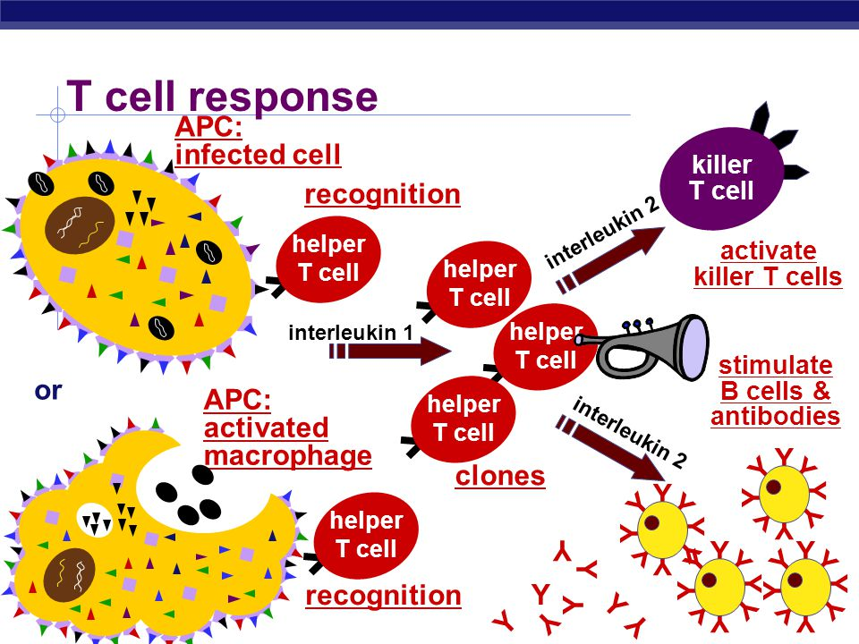 AP Biology T cell response stimulate B cells & antibodies Y Y Y Y Y Y Y Y Y Y Y Y Y Y Y Y Y Y Y Y Y Y Y Y Y Y Y Y Y Y Y Y Y Y Y Y YY Y Y killer T cell activate killer T cells or interleukin 1 interleukin 2 helper T cell recognition clones recognition APC: activated macrophage APC: infected cell