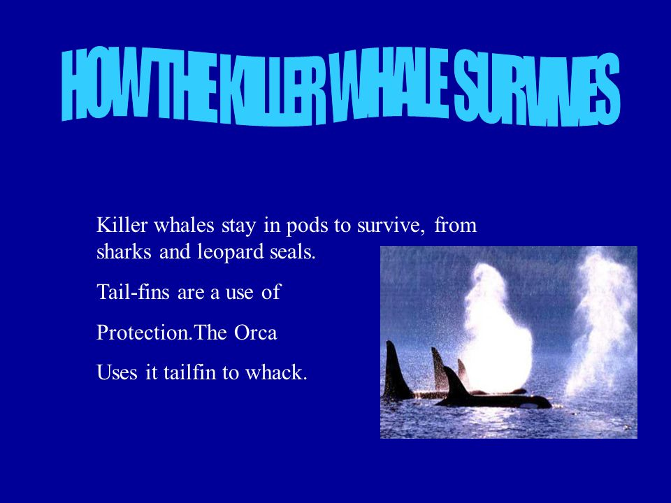 The Orcas babies first feature is to go to the surface and take a breath.