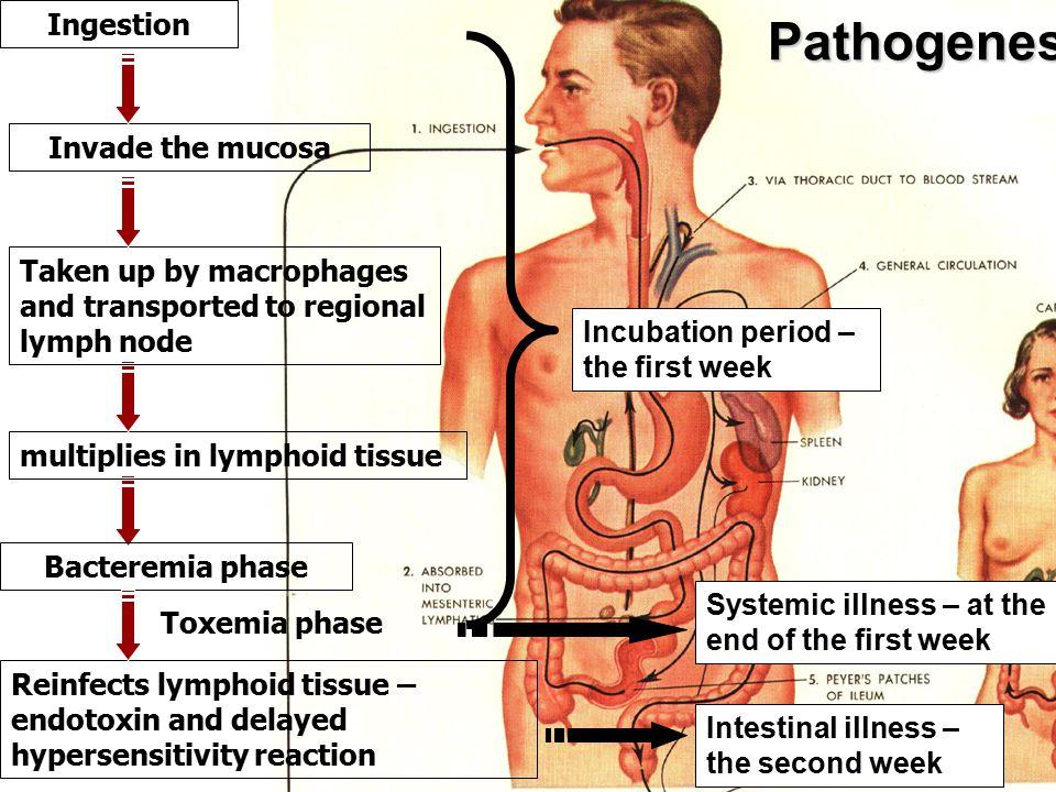 Pathological Changes Typhoid nodule (granuloma) formation .