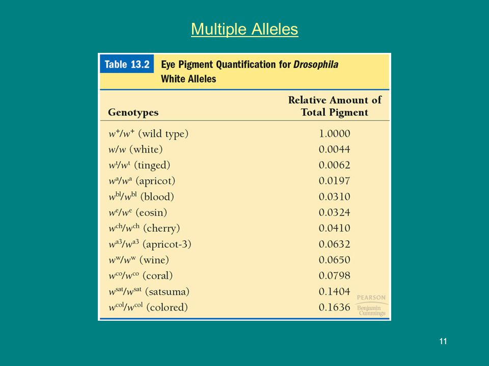 12 Multiple Alleles Humans are highly polymorphic Ex.