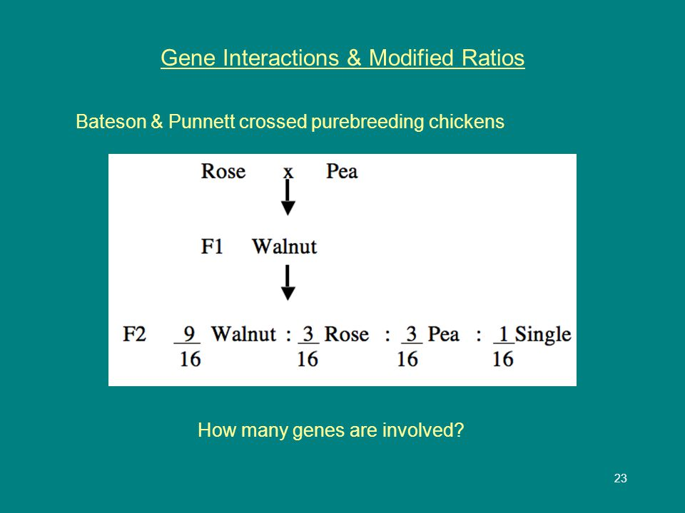24 Gene Interactions & Modified Ratios
