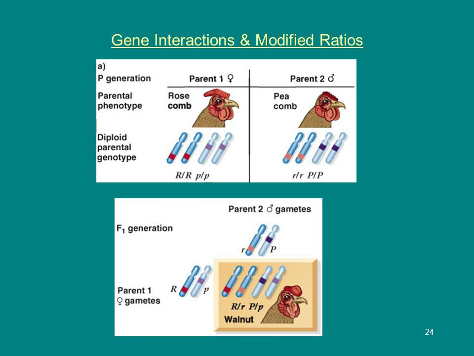 25 Gene Interactions & Modified Ratios 9:3:3:1