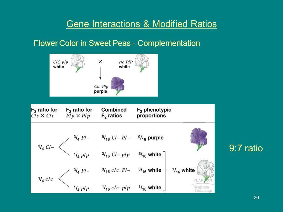 27 Gene Interactions & Modified Ratios Fruit shape in summer squash 9:6:1 ratio