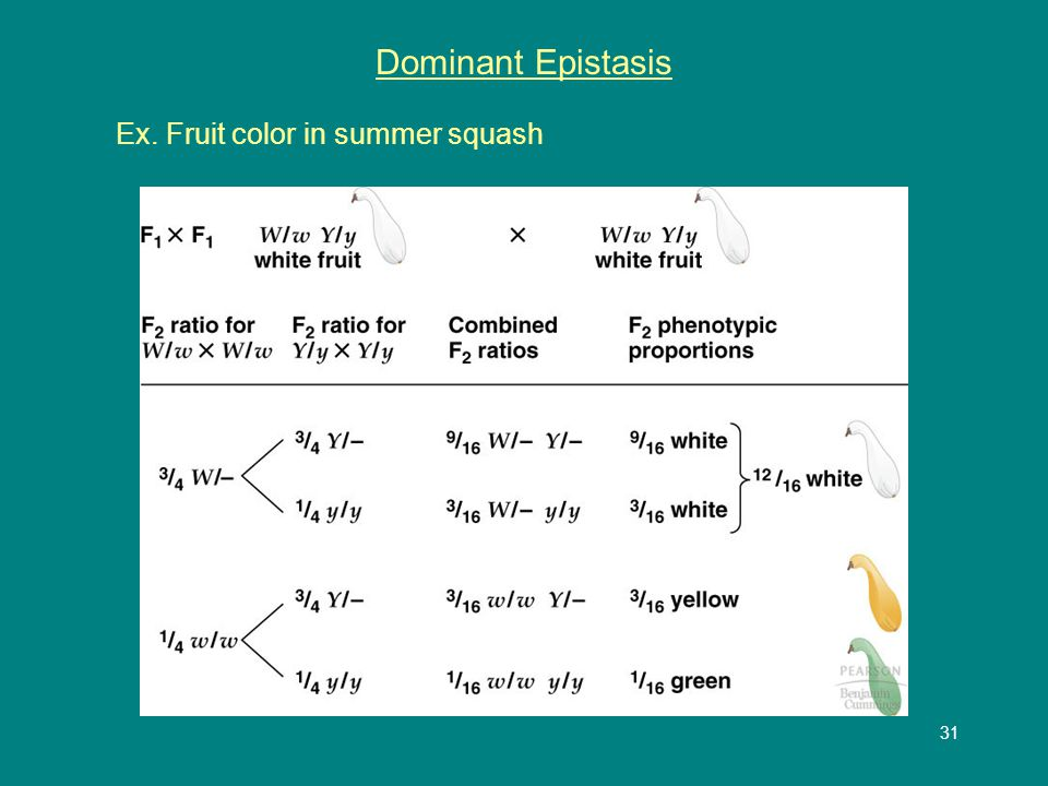 32 Dominant Epistasis Ex. Fruit color in summer squash Hypothetical pathway ww Y- yy