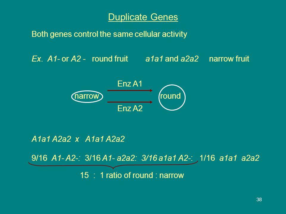 39 Pleiotropic Genes One gene has many effects on the phenotype Ex.