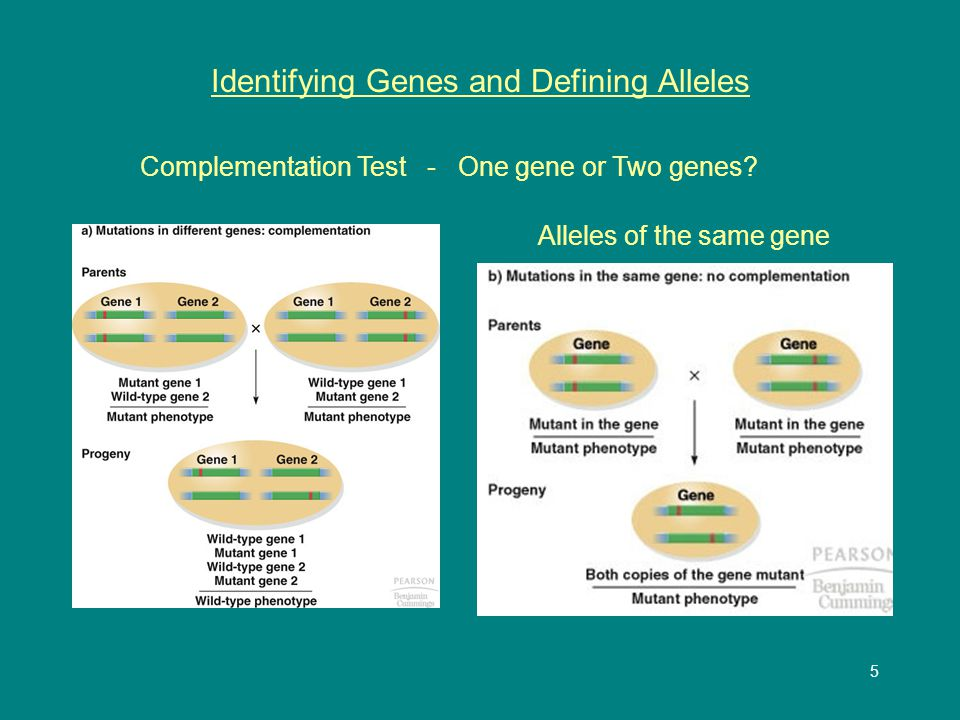 6 Identifying Genes and Defining Alleles Complementation Test - One gene or Two genes?