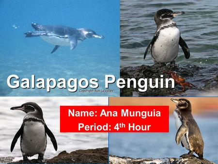 Galapagos Penguin Scientific Name: Spheniscus mendiculus Primarily in the Fernandina Island and the west coast of Isabela Island of the Galapagos Islands.