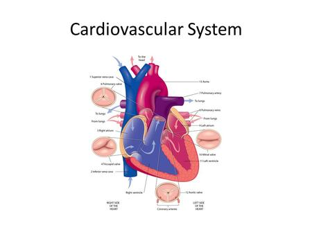 Cardiovascular System. Cardiovascular System: Introduction Cardiovascular system: delivers oxygen and nutrients to cells of body tissue  Heart (muscular.