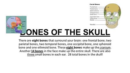 BONES OF THE SKULL There are eight bones that surround your brain: one frontal bone; two parietal bones, two temporal bones, one occipital bone, one sphenoid.