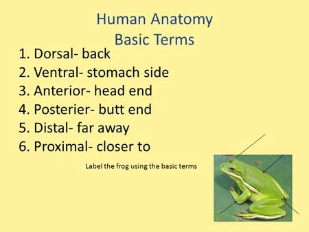 Human Anatomy Basic Terms 1. Dorsal- back 2. Ventral- stomach side 3. Anterior- head end 4. Posterier- butt end 5. Distal- far away 6. Proximal- closer.