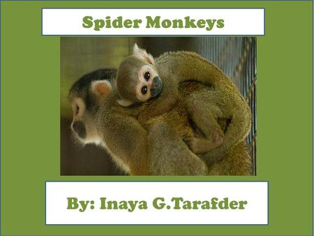 Spider Monkeys By: Inaya G.Tarafder. Animal Facts Description The Spider Monkey are colors of black, brown, buff, and gold. those are the colors of a.