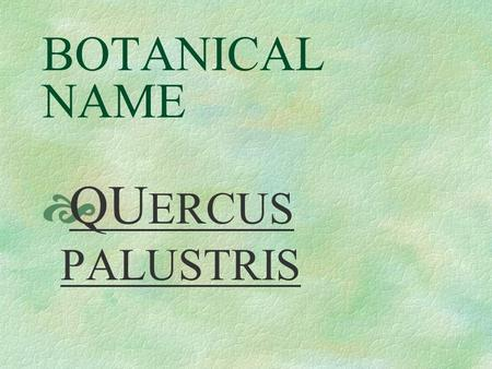 BOTANICAL NAME  QU ERCUS PALUSTRIS PRONUNCIATION  KUER - kus.