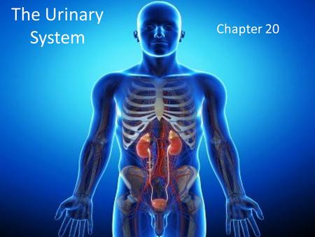 The Urinary System Chapter 20. Introduction A major part of homeostasis is maintaining the composition, pH, and volume of body fluids within normal limits.