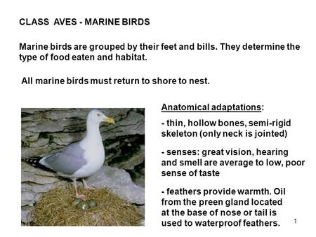1 CLASS AVES - MARINE BIRDS Marine birds are grouped by their feet and bills. They determine the type of food eaten and habitat. All marine birds must.