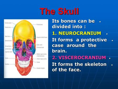 The Skull Its bones can be divided into : Its bones can be divided into : 1. NEUROCRANIUM 1. NEUROCRANIUM It forms a protective case around the brain.