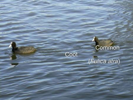 Common Coot (Fulica atra) (Fulica atra). More building with Coot クート オオバン.