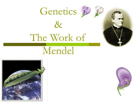 Genetics & The Work of Mendel Gregor Mendel  The Father of Genetics  Modern genetics began in the mid- 1800s in an abbey garden, where a monk named.