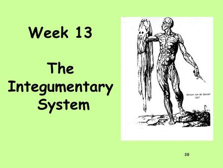 Week 13 The Integumentary System SB. The integumentary system consists of the skin and its derivatives: hair, nails, and glands.