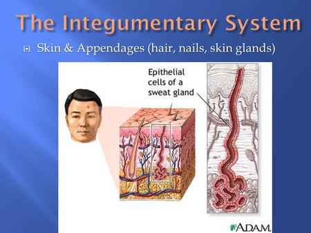  Skin & Appendages (hair, nails, skin glands).  Cutaneous membrane – skin, primary organ of integumentary system; largest body organ.